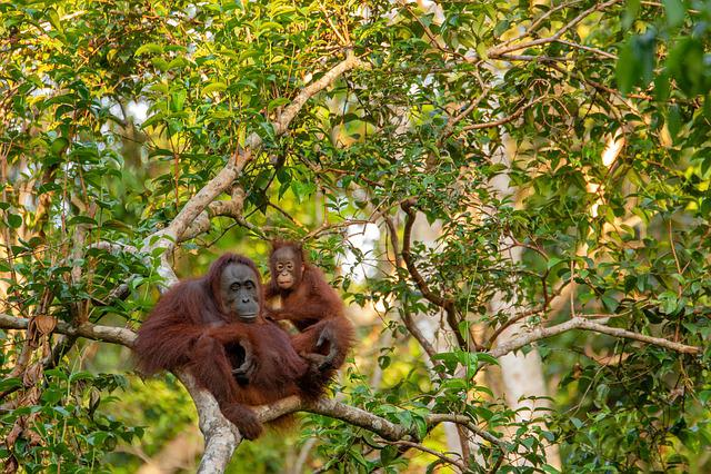 Orangutan, Mother, Animal, Mammal, Child, Monkey