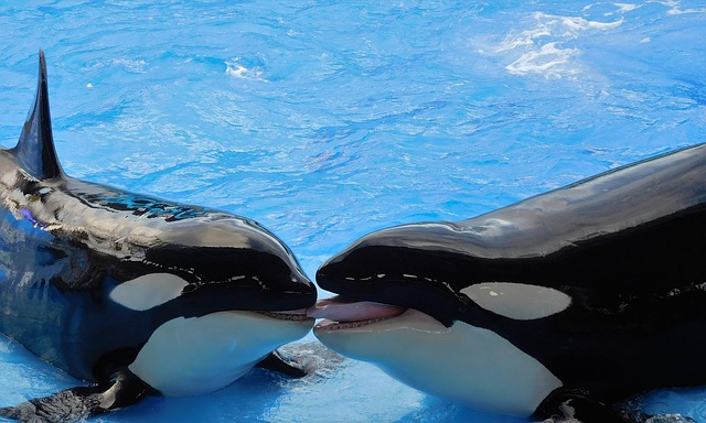 Whales, Killer Whales, Orcas, Animals, Show