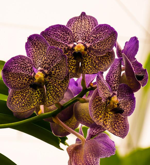 Orchid, Blossom, Bloom, Flower, Close, Panicle