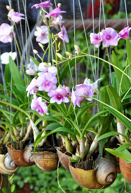 Orchid, Asia, Shell, Plant, Blossom, Bloom, Botanical