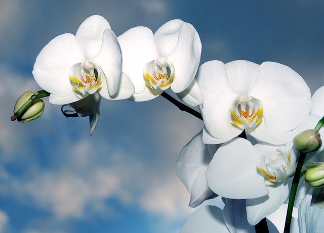 Orchid, Flower, Biel, Innocence, Wedding, Closeup