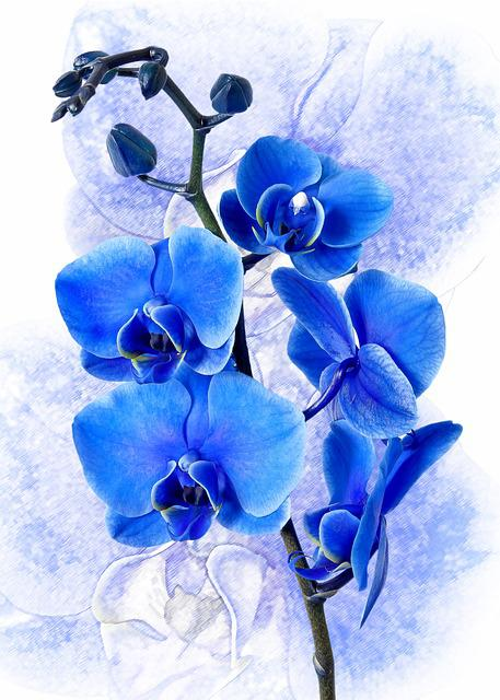 Phalaenopsis, Orchid, Colored Blue, Phalaenopsis Orchid