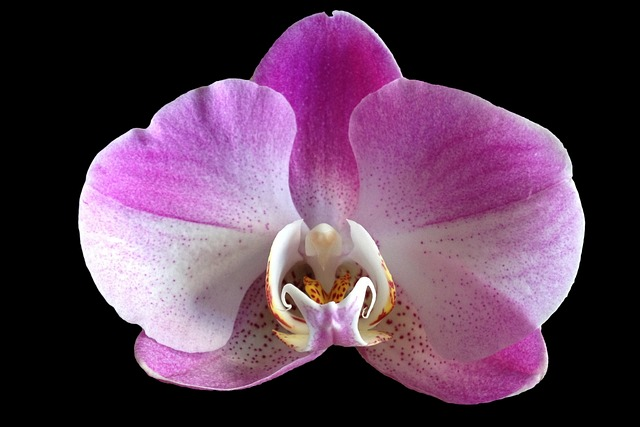 Orchid, Flower, Purple, Close Up