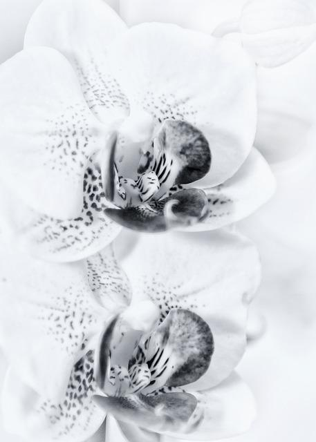 Phalaenopsis, Hands Help, Orchid, Flower, Orchid Flower