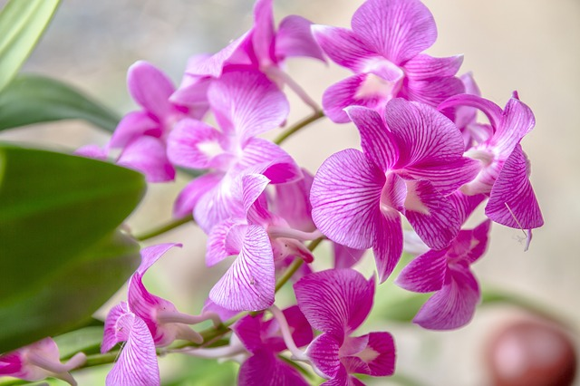 Orchid, Pink Orchid, Pink, Flower, Thailand