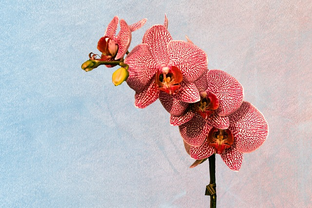 Flower, Flowers, Orchid, Pink