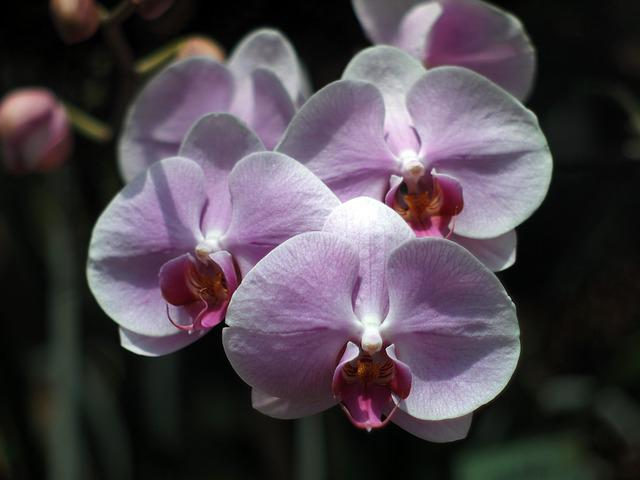 Orchid Purebred, Chiang Mai Thailand, Thailand