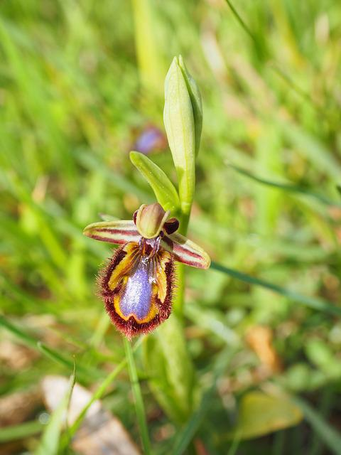 Spiegelragwurz, Ophrys Speculum, Orchids Nature, Orchid