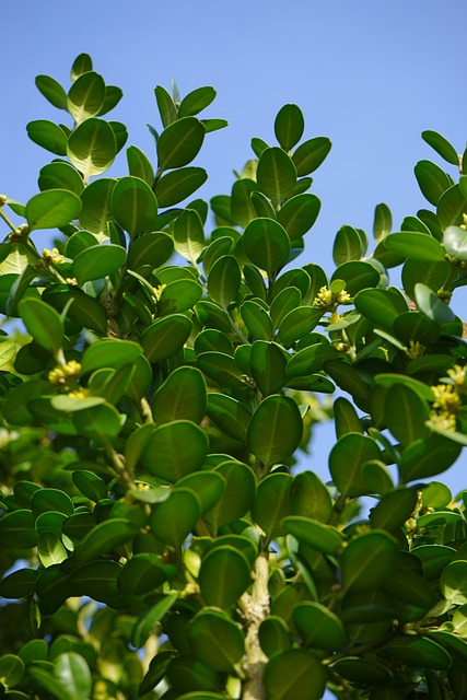 Book, Ordinary Boxwood, Branches, Green, Leaves
