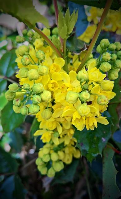 Plant, Mahogany, Ordinary Mahogany, Bush