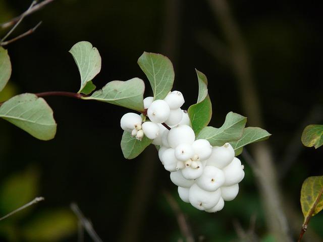 Ordinary Schneebeere, Bush, Berries, Fruits, White