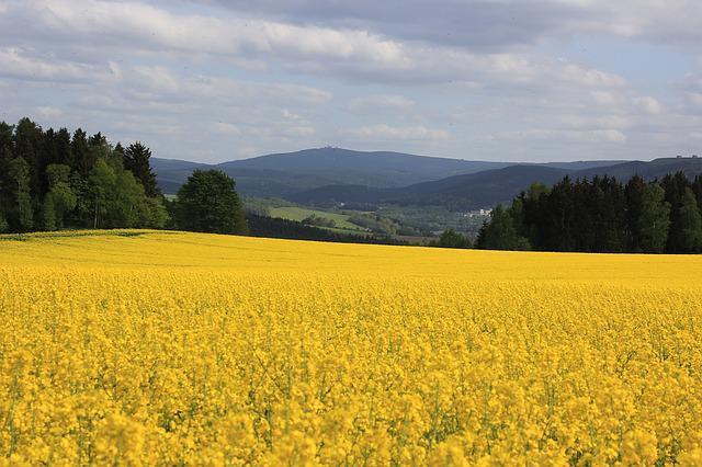 Oilseed Rape, Fichtelberg, Ore Mountains, Yellow