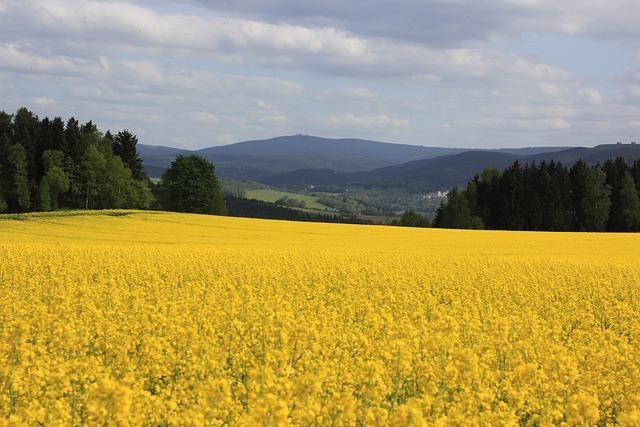Oilseed Rape, Fichtelberg, Ore Mountains, Yellow
