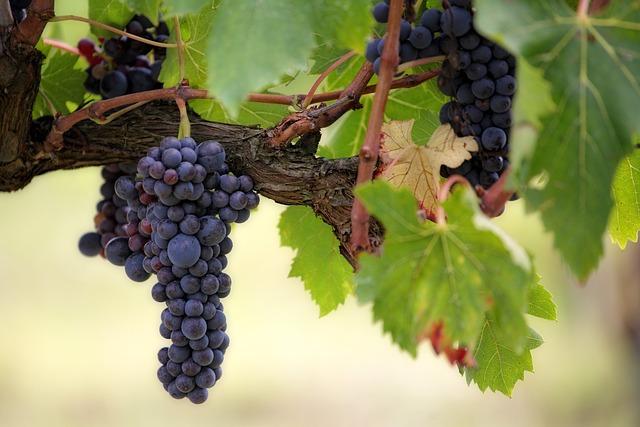 Grapes, Fruits, Food, Fresh, Healthy, Ripe, Organic