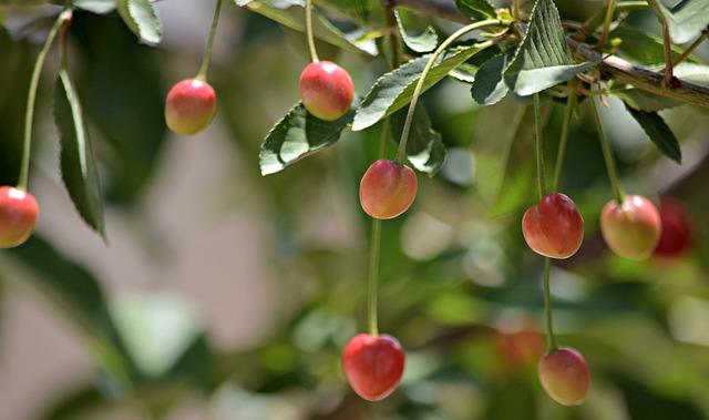 Cherry, Sour Cherry, T, Fresh, Food, Organic, Tree