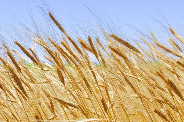 Einkorn, Wheat, Cereals, Grain, Organic, Triticum