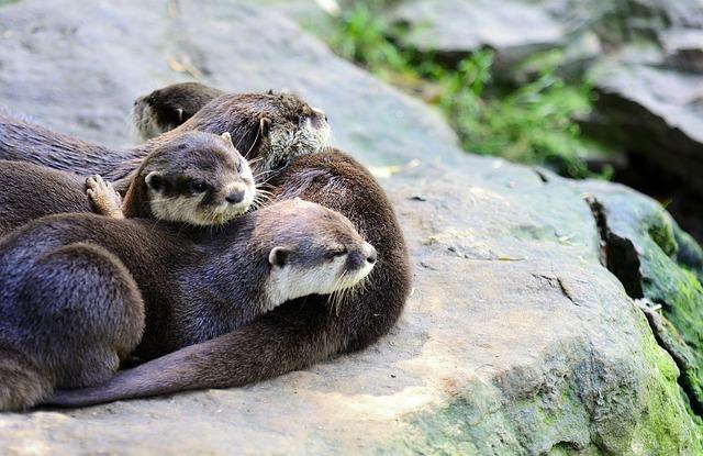 Otter, Small-clawed, Oriental, Amblonyx, Cinerea, Asian