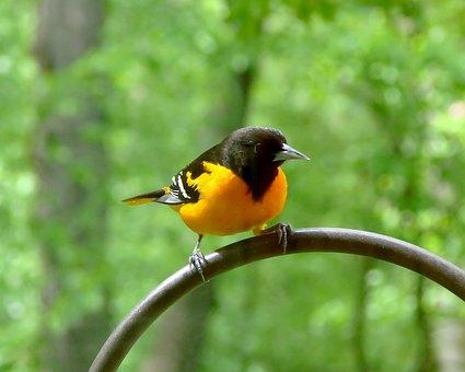 Bird, Avian, Baltimore Oriole, Oriole, Nature, Wildlife