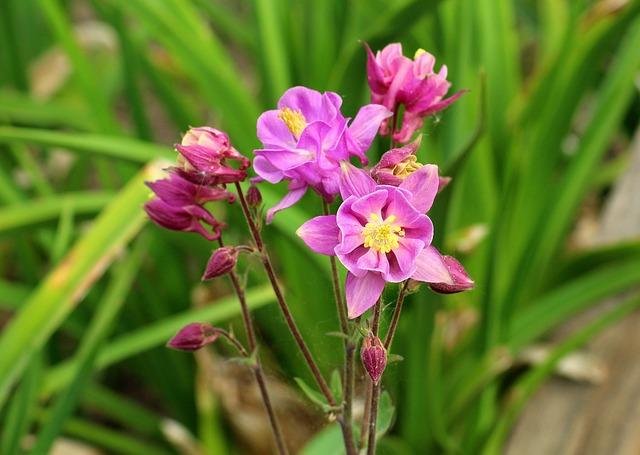 Orlik, Flower, Spring, Nature, Plant, Green, Leaf