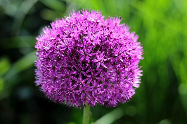 Allium, Ornamental Onion, Purple, Flower, Around