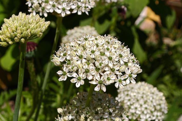 Ornamental Onion, White Zierlauch, Blossom, Bloom