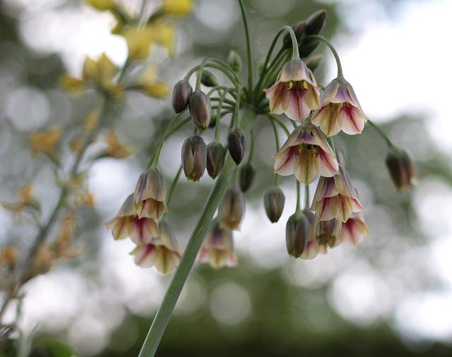 Allium Siculum, Bulgarian Onion, Ornamental Onion