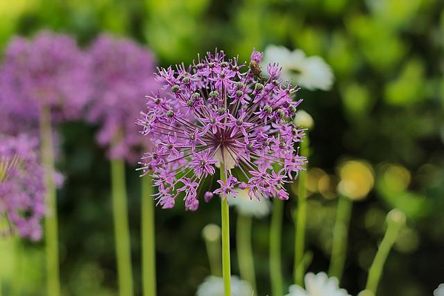 Ornamental Onion, Purple, Garden, Allium, Close
