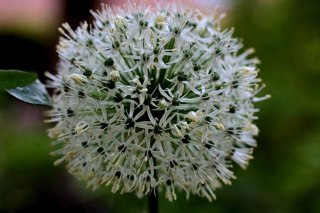 Allium Ping Pong, Ornamental Onion, Spherical, Flowers