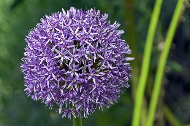 Ornamental Onion, Violet, Blossom, Bloom, Nature