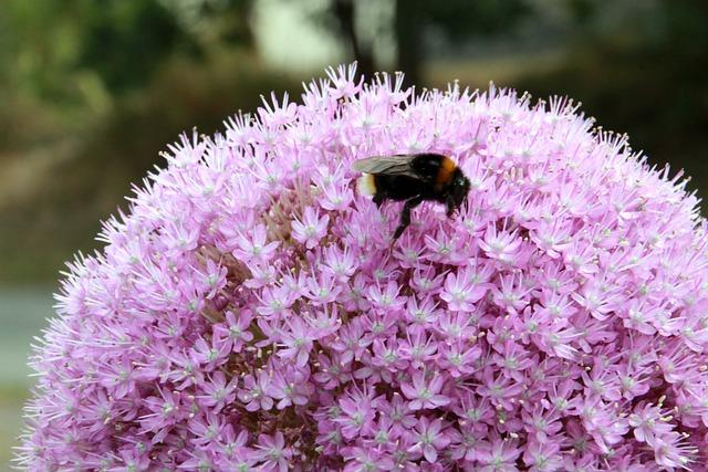 Hummel, Ornamental Onion, Plant, Pollination, Spring