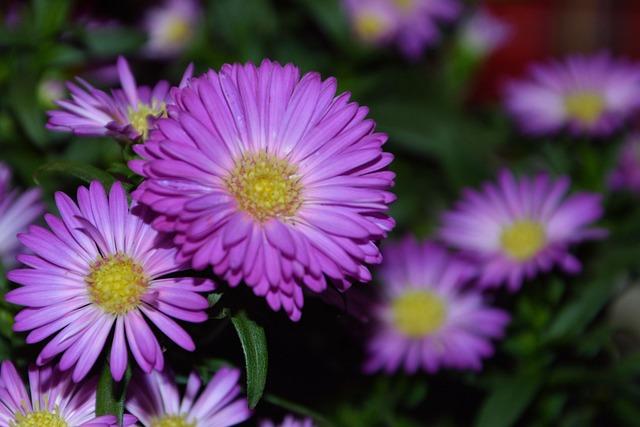 Asters, Herbstastern, Pink, Ornamental Plant, Garden