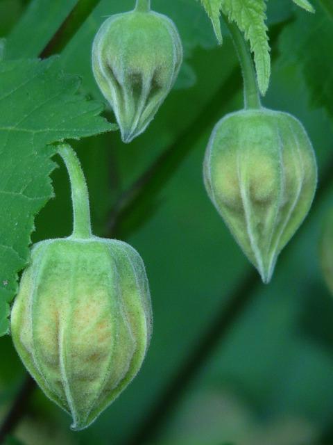 Abutilon, Ornamental Plant, Mallow, Malvaceae, Plant