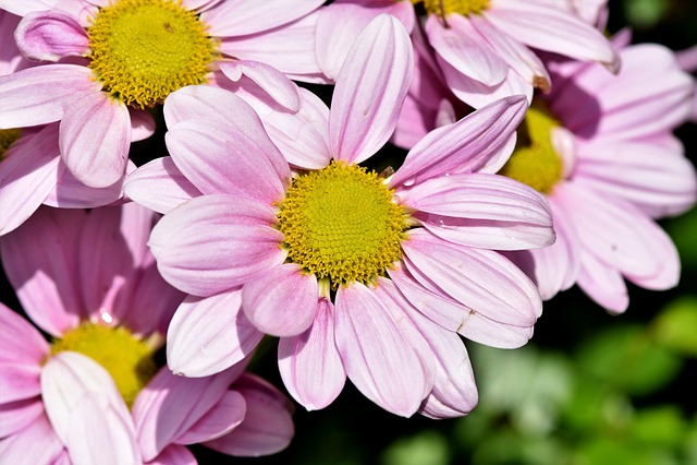 Marguerite, Tree Daisy, Ornamental Plant