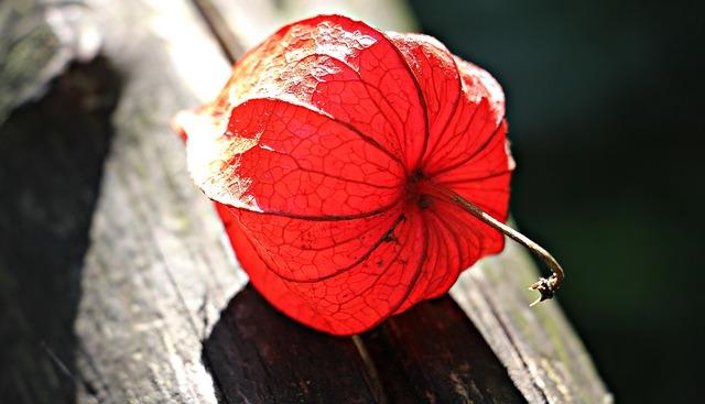 Lampionblume, Physalis Alkekengi, Ornamental Plant