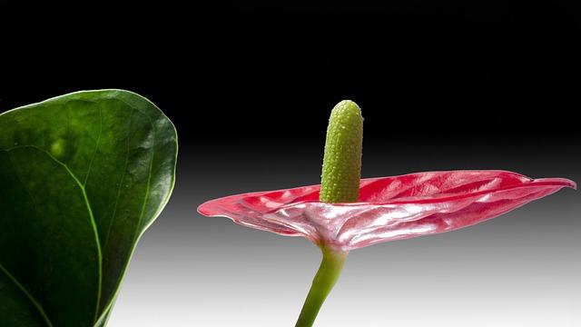Flamingo Flower, Red, Anthurium, Ornamental Plants