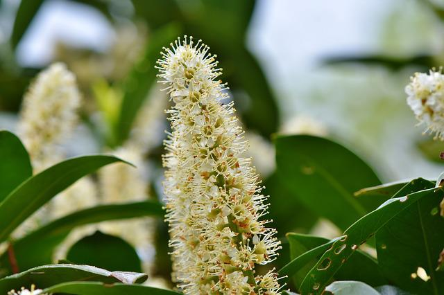 Cherry Laurel, Prunus Laurocerasus, Ornamental Shrub