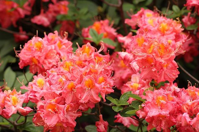 Rhododendron, Azalea, Pink Flowers, Ornamental Shrub