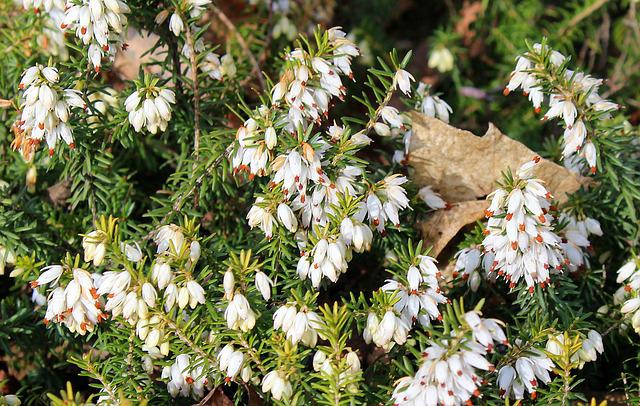 Heather, Erica, Ornamental Shrub, White Flowers, Nature