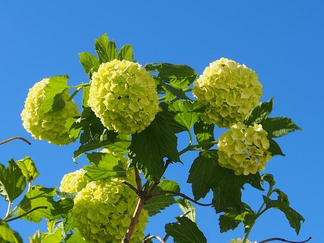 Snow Ball, Blue Sky, Spring, Bush, Ornamental