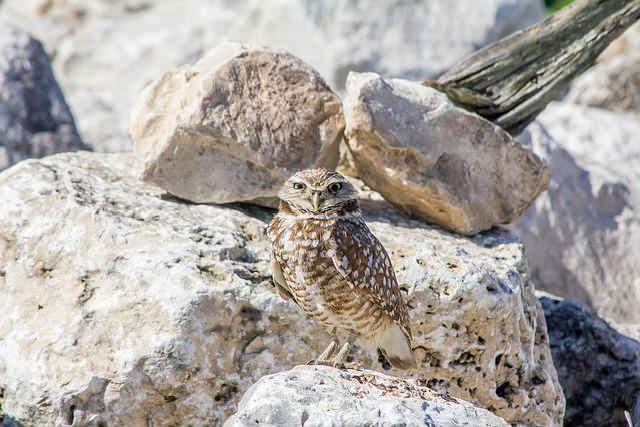 Burrowing Owl, Bird, Nature, Wildlife, Ornithology