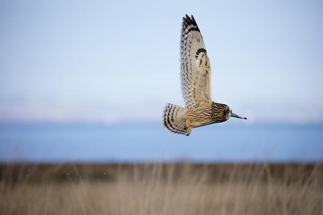 Short Eared Owl, Owl, Bird, Ornithology, Nature