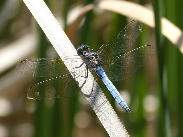 Dragonfly, Blue Dragonfly, Pond, Orthetrum Cancellatum