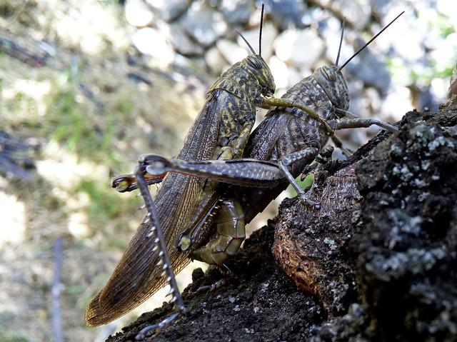 Orthopterans, Grasshopper, Lobsters, Insects Mating