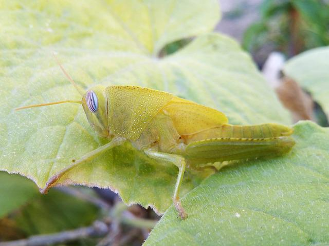 Grasshopper, Lobster, Grillo Verde, Orthopteron, Insect