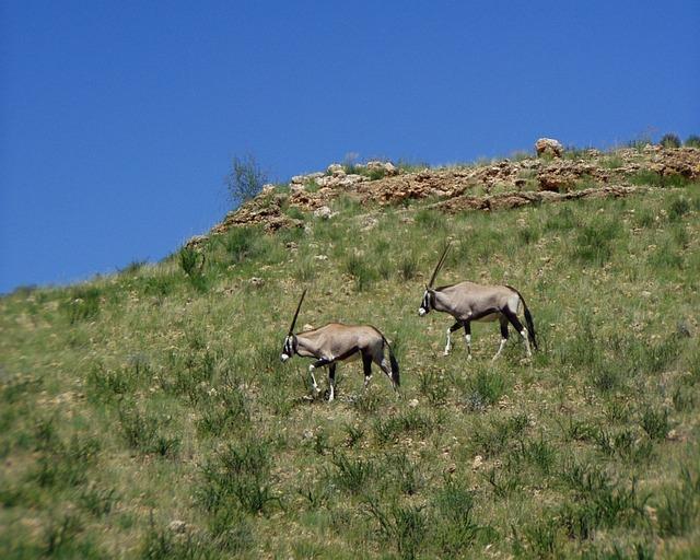 Oryx Antelope, Africa, Wild, Antelope