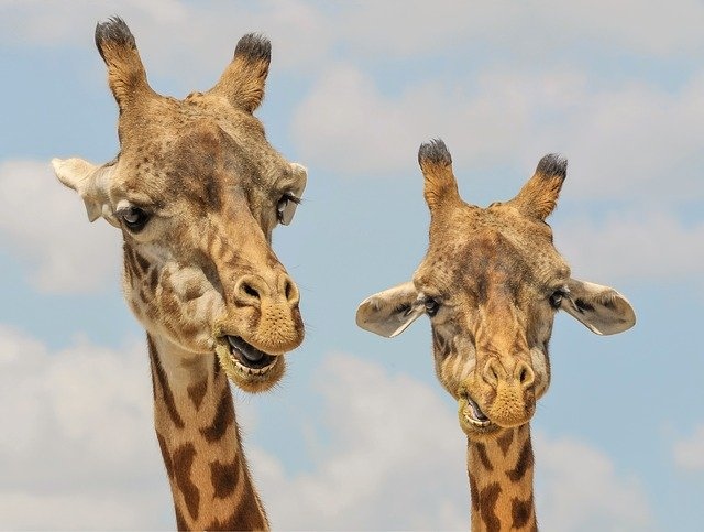Giraffes, Heads, Ossicones, Giraffe Heads, Artiodactyl