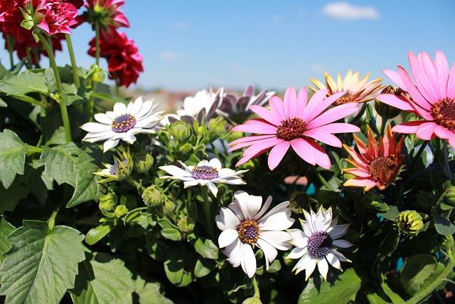 Flowers, Spring, Dahlia, Pink Flowers, Osteo, Balcony