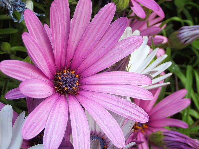 African Daisy, Daisy, Flower, Osteospermum, Water Drops
