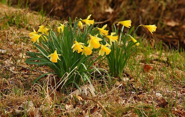 Nature, Plant, Season, Grass, Osterglocken, Daffodils