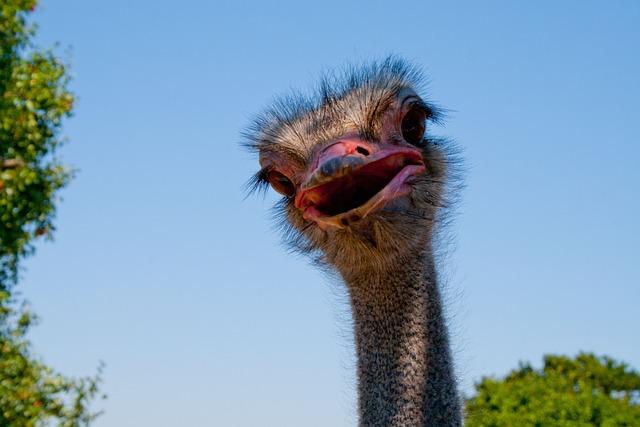Ostrich, Nature, Bird
